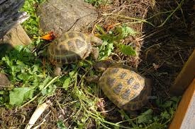 russian native plants keeping russian tortoises outside in the pacific northwest