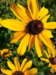 native plants of tennessee rudbeckia hirta black eyed susan is a native wild flower in east