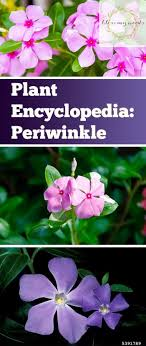 flower encyclopedia plant encyclopedia periwinkle bless my weeds