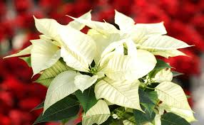 white poinsettia poinsettias the christmas flower extension daily