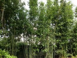 Bamboo Backyard Landscape Bamboo Landscap Design With Bamboo Material Ideas In
