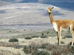 who observes whom a lama in chimborazo picture of biking dutchman