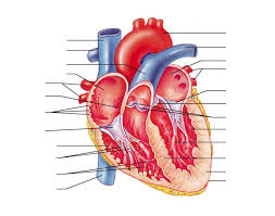 Anatomy And Physiology Labeling Anatomy Of The Human Heart Internal Structures