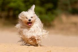 affenpinscher brown havanese dog breed information pictures characteristics u0026 facts