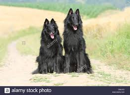 belgian sheepdog laekenois dog belgian shepherd groenendael two adults sitting in path