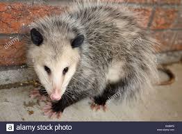opossum stock photos u0026 opossum stock images alamy
