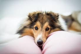 australian shepherd 8 stunden alleine hund und beruf u2013 ein unmögliches ding