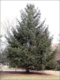 isu forestry extension tree identification spruce picea