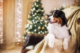 australian shepherd 1 jaar hondenras australian shepherd aussie kerst en nieuwjaar