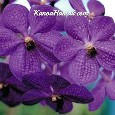 vanda orchid stunning leaf vanda orchid best hawaiian plants from kanoa