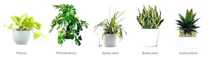 plants for office desk best office plant plants office garden green clean air indoor