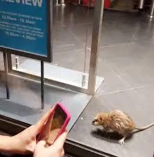 All Living Things Luxury Rat Pet Home by Gigantic Rat Filmed Running Amok Inside Primark Christmas Window