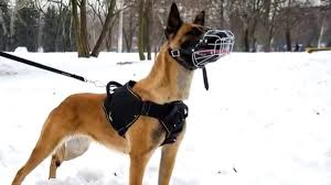 belgian shepherd nz nylon belgian malinois harness with padded chest plate youtube
