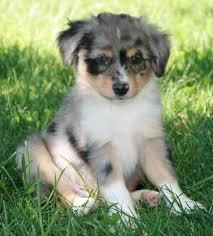 puppies for sale pa best 25 aussie puppies for sale ideas on mini aussie