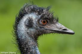 vision of emu dinosaur like australian bird surpasses humans