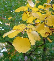 9 fantastic colorado fall color trees shrubs arborscape tree