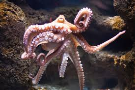 12 outrageous facts about octopuses mental floss