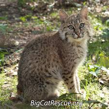 big cat rescue on twitter