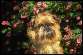 affenpinscher nc affenpinscher dogs for adoption in usa