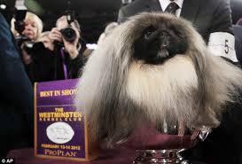 affenpinscher at westminster top dog banana joe the affenpinscher beats swagger the sheepdog by