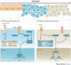 the roles of tgf beta in the tumour microenvironment nature