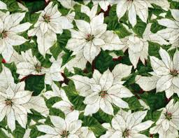 white poinsettia cotton quilt fabric christmas packed white poinsettia gold