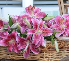 why is stargazer the world u0027s most popular lily longfield gardens