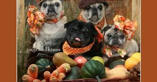 rugs and pugs happy thanksgiving