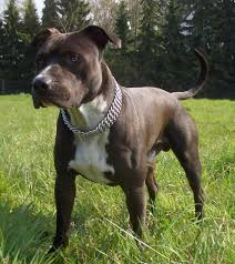 american pitbull terrier heat cycle canis blogus dog training blog by laure anne viselé