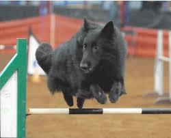 belgian sheepdog georgia blackforest belgian sheepdogs groenendael u2013 we breed family dogs