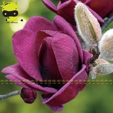 Fragrant Garden Plants Online Shop Giant Deep Purple Magnolia Flower Seeds 10 Seeds Pack