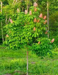 flowering trees the gardener s