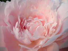 Peony Flowers by Garden Flowers The Flamboyant And Sumptuous Peony Flowerona