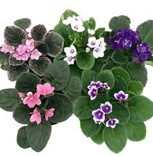 Low Light Flowering Plants by Novelty African Violet 4