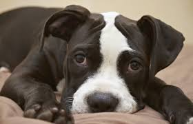 the tragedy of america u0027s dog pacific standard