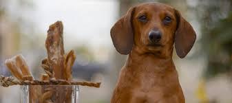 benefits of braided pig pizzle dog treats pawstruck com