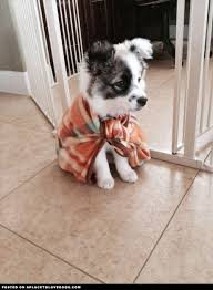 australian shepherd upkeep 17 best images about puppies u003c3 on pinterest chihuahuas