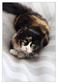 85 best calico cats u003e u2022 u2022 u003c images on pinterest calico cats