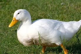 where to buy duck where to buy pekin ducks efowl