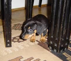 si e psa pies boi się huku szkolenie psa