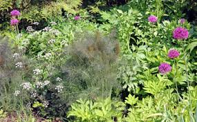 fennel foeniculum vulgare master gardener program