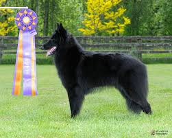 belgian shepherd 2 months our girls u2013 verseau belgian sheepdogs