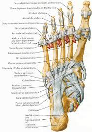 Foot Tendons Anatomy Foot Anatomy Plantar Foot 20anterior 20sensation Human Anatomy