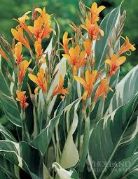 cana lilly canna lilies