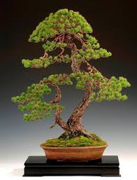 21 best bonsai trees images on