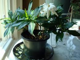 Indoor Fragrant Plants - gardenia jasminoides radican u0027 fragrant gardening