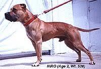 american pitbull terrier vs amstaff the real american pit bull