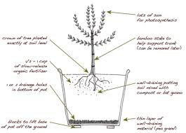 plant an olive tree in your edible backyard garden edible marin