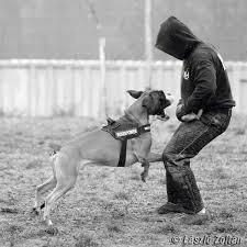 boxer dog training tips training a boxer dog for bite work