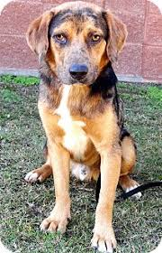 australian shepherd catahoula mix scotch jj adopted dog ny dk roundup mt catahoula leopard